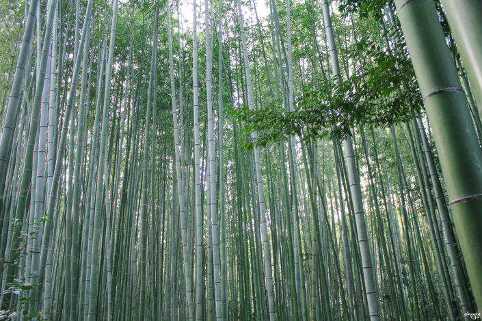 Panda dream - Bamboo forest, Kyoto