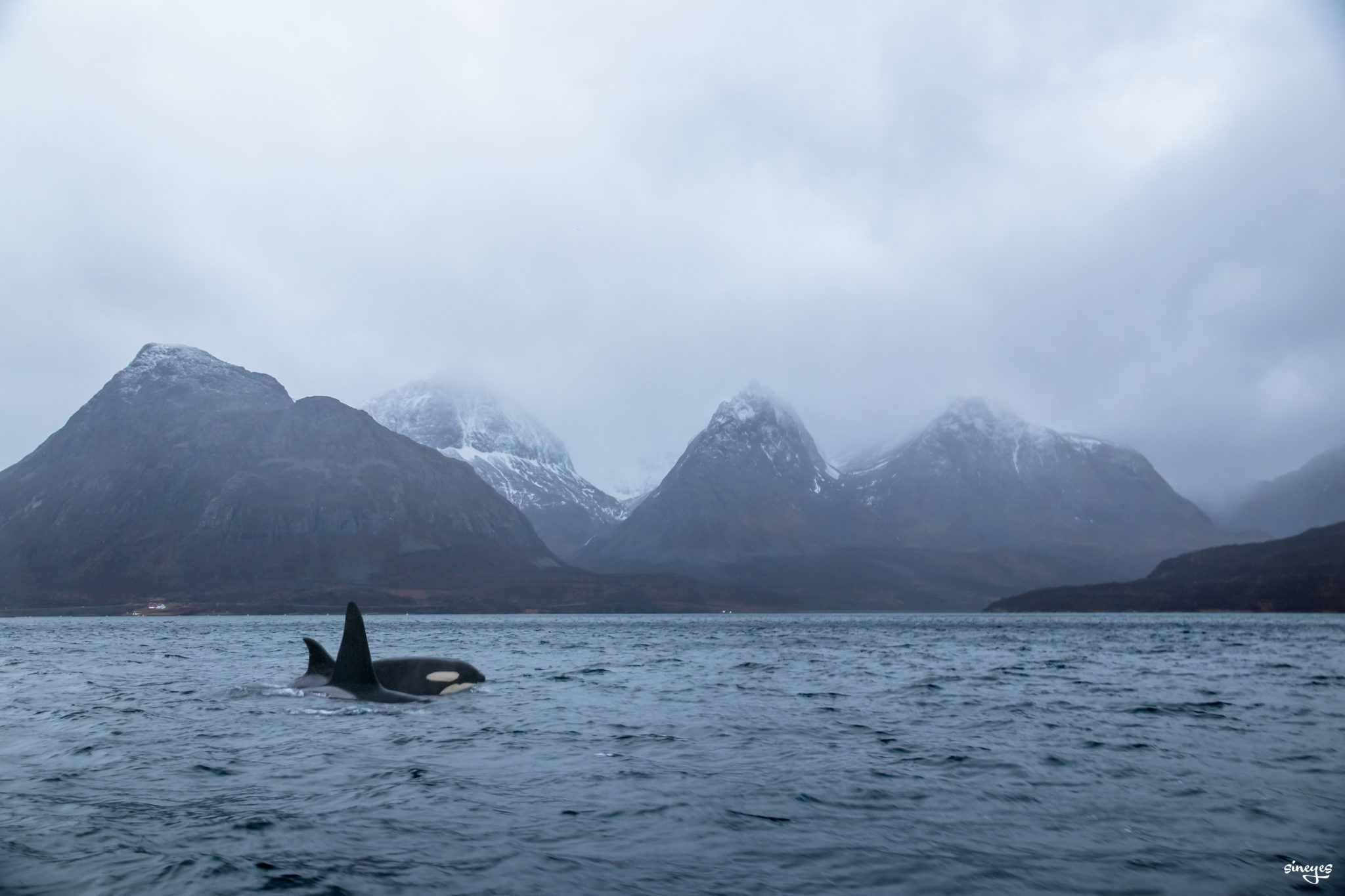 Wild Orcas - Skjervøy, Norvège by sineyes